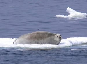 photo of a bearded seal floating on a block of ice
